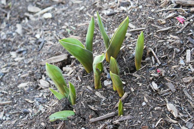 edited tulips